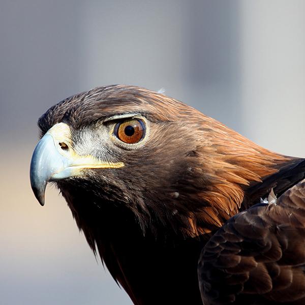 Golden Eagles in North America @ National Eagle Center