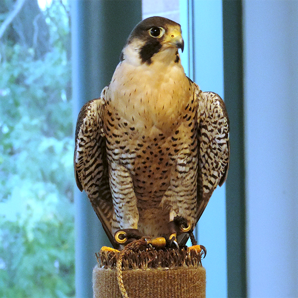 Midwest Peregrine Society @ National Eagle Center